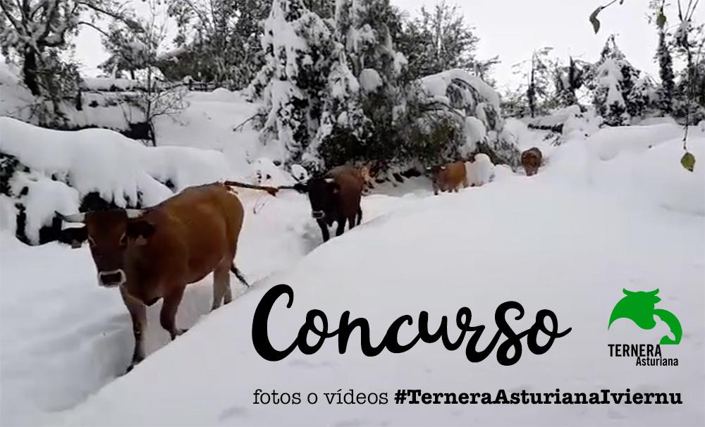 Concurso de fotos o vídeos #TerneraAsturianaD'iviernu