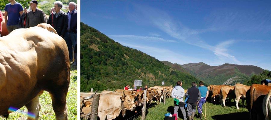 IV Jornadas de la Ternera Asturiana del Cebadero de las Ubiñas-Valles del Oso